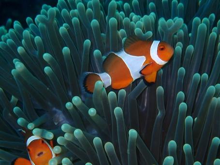Nemo Familie beim tauchen afgenommen.
