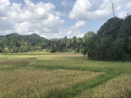 Reisfelder zwischen Palmen
