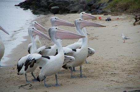 Auf Fisch wartende Pelikane